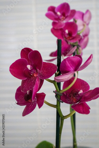 orchid - 239070665