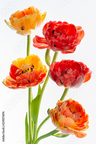 Bouquet of vivid yellow-red tulips isolated on white background