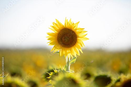 girasol, flor,naturaleza