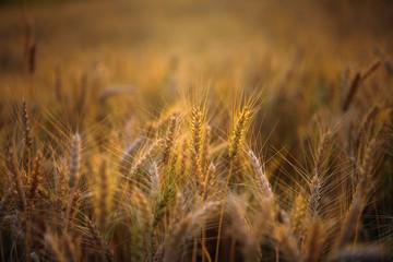 golden ripe barley field in evening sunlight