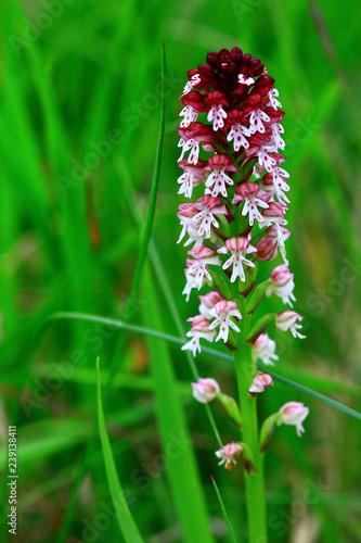 orchis brulé orchidées - 239138411