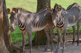 Two Zebras standing in field