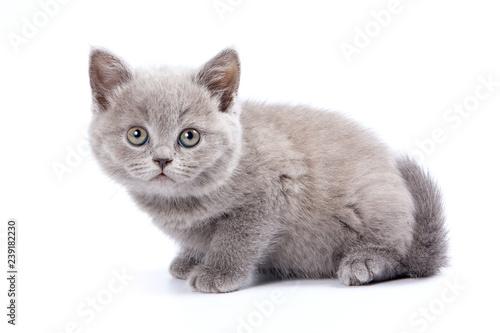 Szary kot brytyjski kot (na białym tle)
