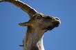 wild male in the sierra de gredos