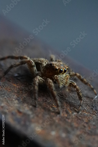 Detailed super macro photo of jumping spider - 239212281
