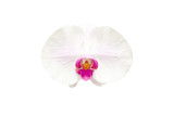 White orchid isolated on white background.. © krungchingpixs