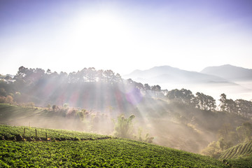 The beautiful Landscape of strawberry plantation in the morning with the mist blue sky and sunlight at Ban Nor Lae, Doi Ang Khang, Chaing Mai, Thailand. © Pantira