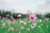 asia,aster,background,beautiful,bipinnatus,bloom,blossom,bokeh,botanical,botany,close,color,cosmos,drop,farm,field,flora,flower,freshness,garden,green,hipster,jim,jimthomson,life,macro,meadow,minimal,