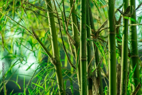 Lanscape of bamboo tree in tropical rainforest