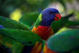 rainbow lorikeet colorful birds parrot tropical Australia lory © QuickStartProjects