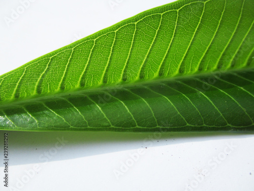 Leaves,  Foliage and Green Nature   - 239288292