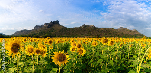 Sunflower field in evening time with sunset
