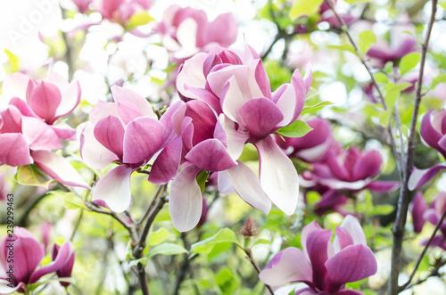 Zdjęcia na płótnie, fototapety na wymiar, obrazy na ścianę : Beautiful magnolia tree blossoms in springtime. Jentle magnolia flower against sunset light. Romantic floral background.