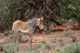 Grevy zebra foal in the bushes in the Samburu National Park in Kenya © henk