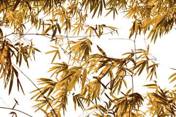 Branches and leaves of bamboo on white background © หอมกลิ่น กล้วยไม้