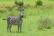 Black and White Striped Zebras in the Mikumi National Park, Tanzania