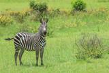 Black and White Striped Zebras in the Mikumi National Park, Tanzania