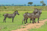 Black and White Striped Zebras in the Mikumi National Park, Tanzania © Dave