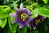 Purple and white flower of the passiflora caerulea vine