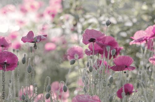 Natur Mohnblumen im Sommer