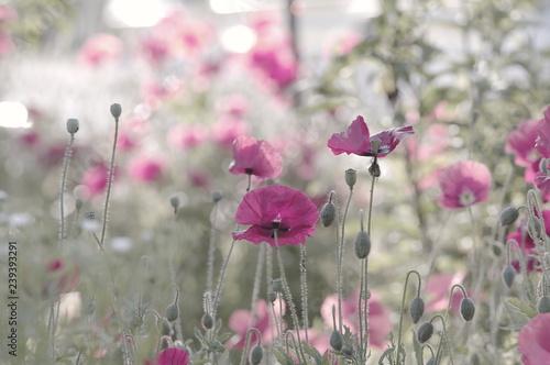 Rosa mohnblumen Hintergrund