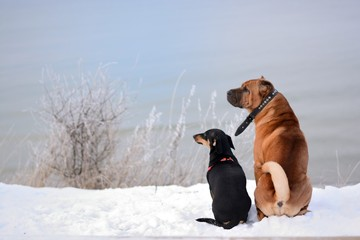 Two dogs sit and look in the sea. Winter. Snow. © Iuliia Mikh