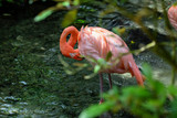 Pink Flamingos standing in fresh water in nature.