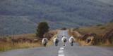 Schafe auf der Strasse in Irland