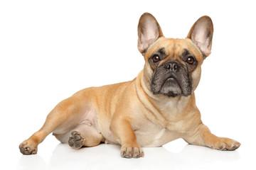 French bulldog lies and stares © jagodka