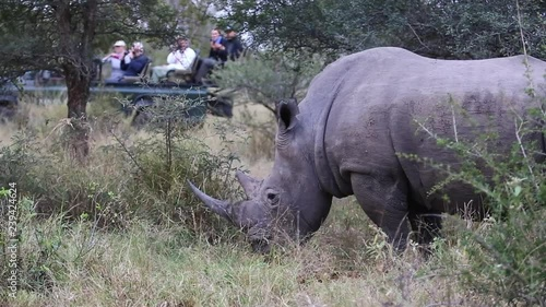 White Rhino Bull with Huge Horn Grazing in the Bush as Safari Vehicle Full of Tourists Arrives and People Begin Taking Photos.