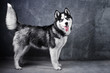 Siberian Husky dog is standing sideways on a black gray background with his tongue hanging out