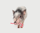 Cute little pig with red lollipop on white background