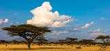 Schirmakazie mit Wolken