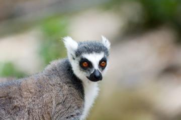 Ring-tailed Lemur.Primate