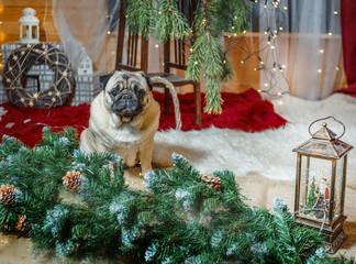 Pug sits in new year's environment © tvetchinina