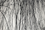 Weeping willow branchlets