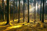 Magic morning sunlight in gold colored mossy forest landscape. © robsonphoto