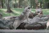 Siberian Husky on stone