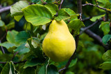 Ripe Quince (Cydonia oblonga) fruit growing on a tree branch during late Summer in the UK - 239501826