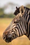 Zebra head in profil