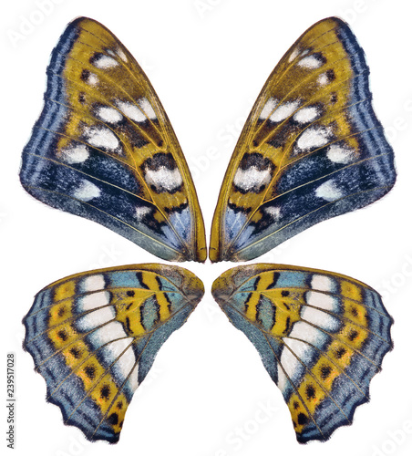 blue and yellow four butterfly wings on white - 239517028