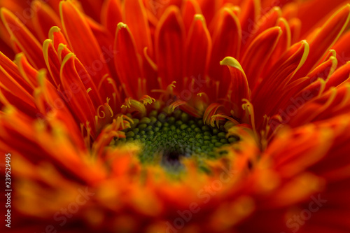 closeup of orange African daisy flower - 239529495