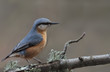 Nuthatch stands on a mossy branch on a brown background ...