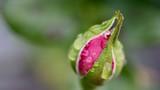 rose morgentau