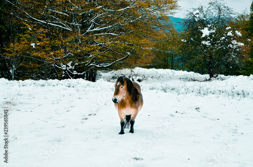 Beautiful horses in the snowy forest of the Gorbea natural park, Basque Country, Spain