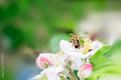 Close Up of Honey bee on Apple Tree in Spring with white blossoms at sunny day - 239566027