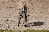 Baby Hartmann's mountain zebra