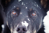 Portrait of a black dog with snow on the face close-up