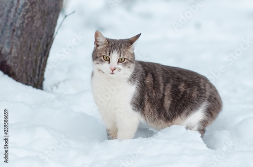 Portrait of a gray cat in the snow - 239586659