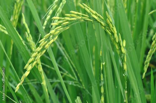 green paddy field - 239608050